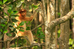Young Proboscis monkey sitting on a tree, Borneo Royalty Free Stock Images