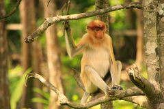Young Proboscis monkey sitting on a tree, Borneo Stock Photography