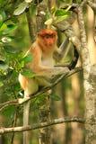 Young Proboscis monkey sitting on a tree, Borneo Royalty Free Stock Photos