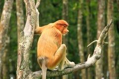 Young Proboscis monkey sitting on a tree, Borneo Stock Images