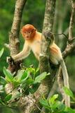 Young Proboscis monkey sitting on a tree, Borneo Stock Photography