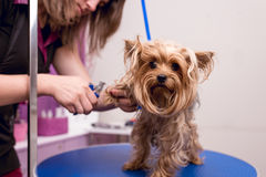 Young professional groomer grooming yorkshire terrier in pet salon Royalty Free Stock Images