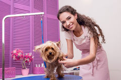 Young professional groomer grooming yorkshire terrier in pet salon Stock Images
