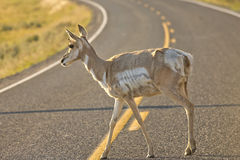 young  pronghorn deer Stock Image