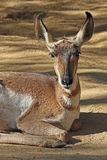 Young Pronghorn Stock Photography