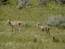Young Pronghorn Royalty Free Stock Photo