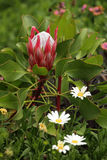 Young protea in the garden Royalty Free Stock Photography