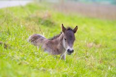 Young przewalski horse foal Stock Photography