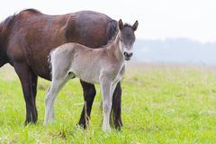Young przewalski horse foal Stock Image
