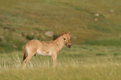 Young Przewalski horse Royalty Free Stock Photo