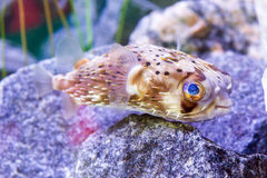 Young puffer fish Stock Photos