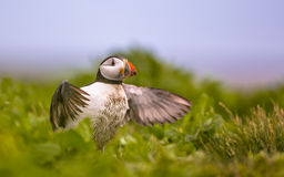 Young Puffin trying to fly off Stock Images