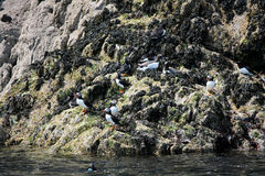 Young Puffins on the Skomer Island Royalty Free Stock Images