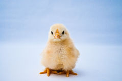 Young puffy chick portrait Royalty Free Stock Image