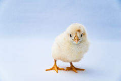 Young puffy chick standing Royalty Free Stock Photos