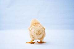 Young puffy chick standing back shot royalty free stock photo
