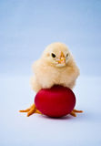 Young puffy chick standing over red egg Stock Photos