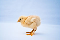 Young puffy chick standing side shot Stock Images