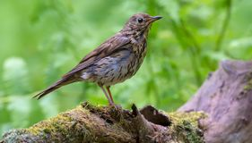Young puffy song thrush stands on big mossy tree in spring green forest royalty free stock image