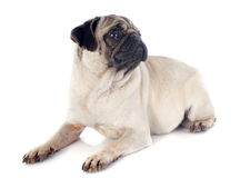 Young pug Royalty Free Stock Image