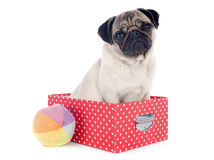 Young pug in box Royalty Free Stock Image