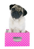 Young pug in box Stock Photos