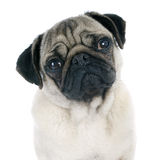 Young pug. In front of white background stock photography