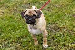 Young pug walking Royalty Free Stock Photo