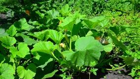 Young pumpkin plant in garden stock video