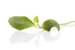Young pumpkin seedling Royalty Free Stock Images