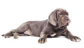 Young puppie italian mastiff cane corso. Lying on white background Royalty Free Stock Image