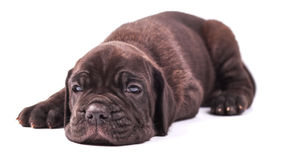 Young puppie italian mastiff cane corso (1 month) lying. On white background Stock Image