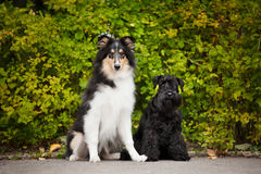 Young puppies collie and Miniature Schnauzer Stock Image