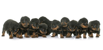 Young puppies rottweiler Royalty Free Stock Image