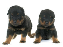 Young puppies rottweiler Stock Photos