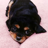 Young puppy Stock Photography
