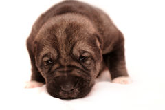 Young puppy 2 weeks age. Asian Shepherd Stock Images
