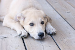 Young puppy. Laying on deck Royalty Free Stock Image