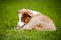 Young puppy Australian Shepherd lying Royalty Free Stock Image