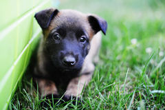Young puppy. Belgian shepherd malinois in field Royalty Free Stock Image
