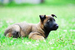 Young puppy. Belgian shepherd malinois in field Stock Photography