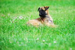 Young puppy. Belgian shepherd malinois in field Stock Photos