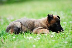 Young puppy. Belgian shepherd malinois in field Stock Images