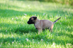 Young puppy. Belgian shepherd malinois in field Royalty Free Stock Images