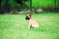 Young puppy. Belgian shepherd malinois in field Royalty Free Stock Photography