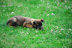 Young puppy. Belgian shepherd malinois in field Royalty Free Stock Photos