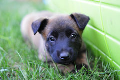 Young puppy. Belgian shepherd malinois in field Stock Image
