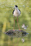 Young puppy bird black-winged stilt and mother Stock Image