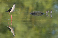 Young puppy bird black-winged stilt and mother. Black-winged stilt portrait on green swamp background Stock Image