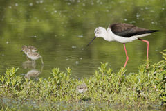 Young puppy black-winged stilt and mother. Black-winged stilt portrait on green swamp background Stock Photo